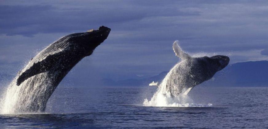 2 baleines à bosse qui font un saut
