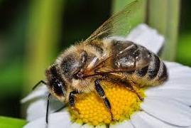 abeille butine fleur