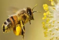 abeille pleine de pollen
