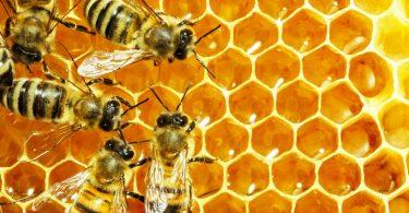 abeilles déposent miel dans alvéoles ruche