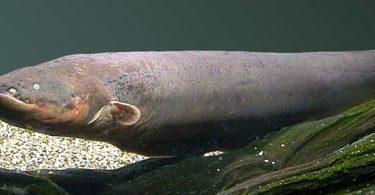 anguille électrique