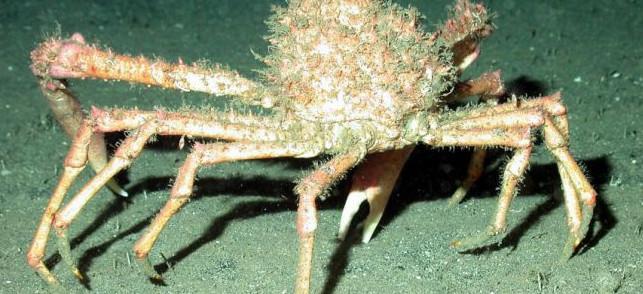 araignée de mer se déplace
