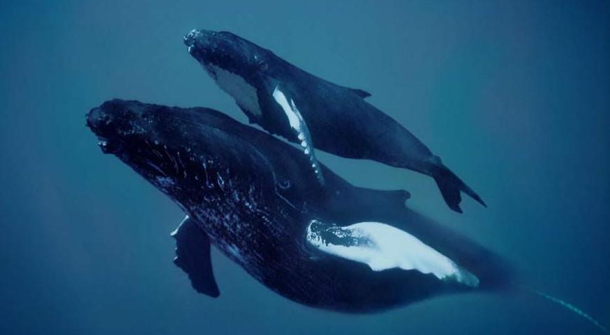 baleine à bosse et son petit