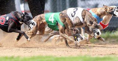 course de greyhounds