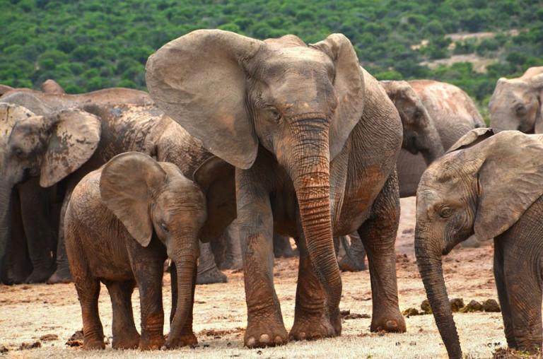 éléphants sans défenses