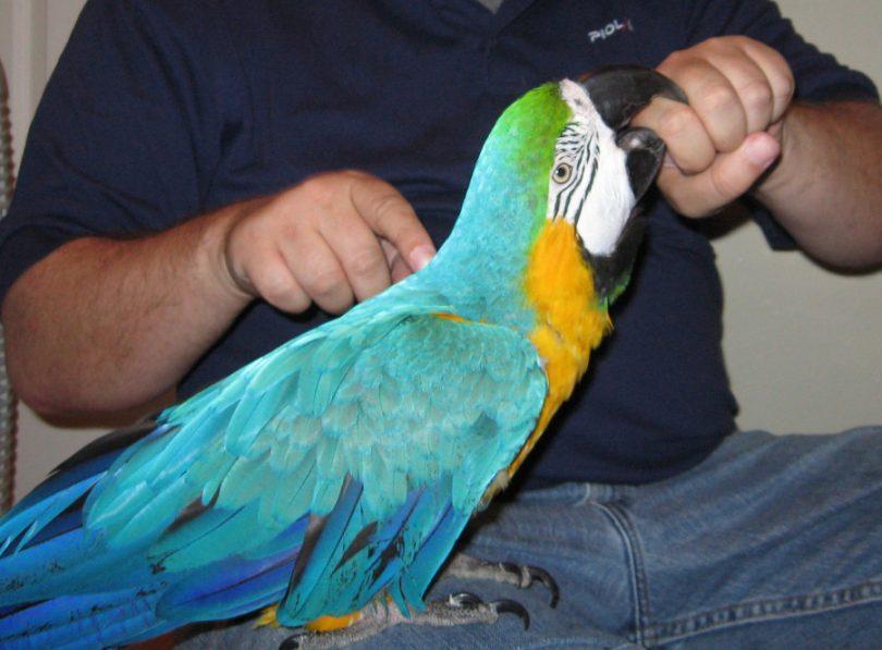 perroquet mord violemment une main