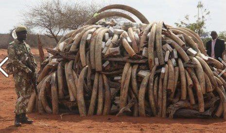 saisie armée africaine défenses éléphants