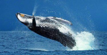 saut baleine à bosse