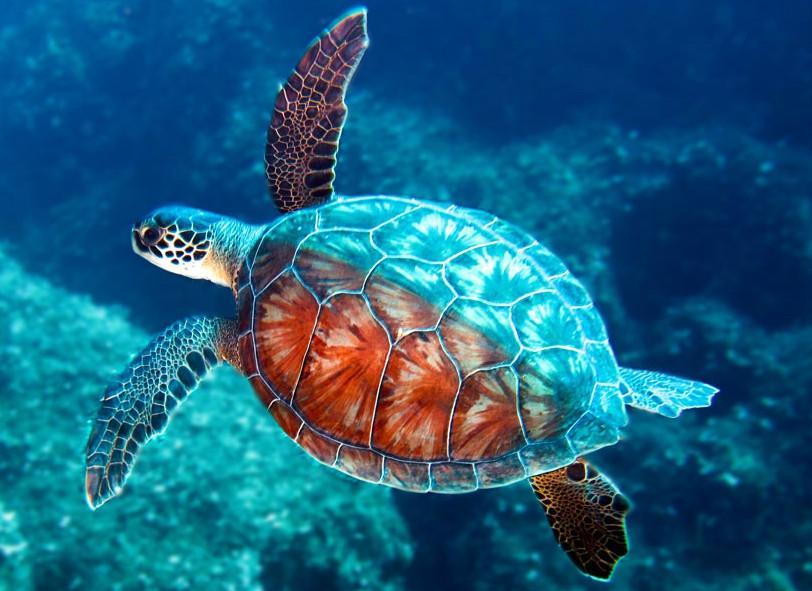 tortue de mer qui nage dans l'océan
