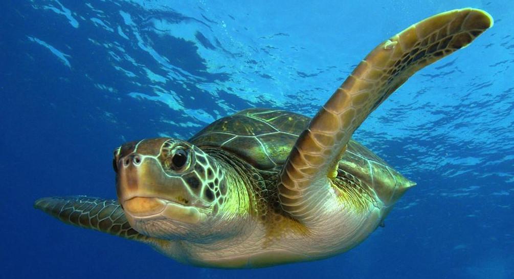 Comment la tortue de mer respire t elle sous l 39 eau - Dessin du lievre et de la tortue ...