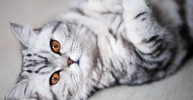 beau chat gris