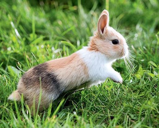 Pourquoi le lapin tape t il de la patte - Cuisiner un lapin de garenne ...