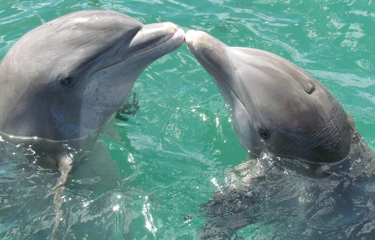 2 dauphins qui s'embrassent