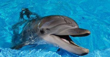 grand dauphin
