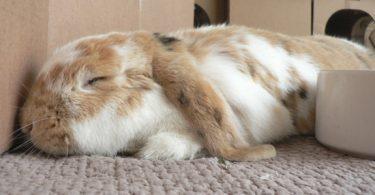comment dort le lapin