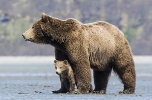 femelle grizzli et son petit
