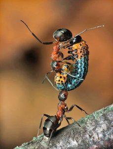 fourmi qui porte un autre insecte