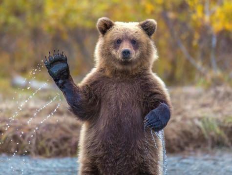 grizzli qui fait coucou