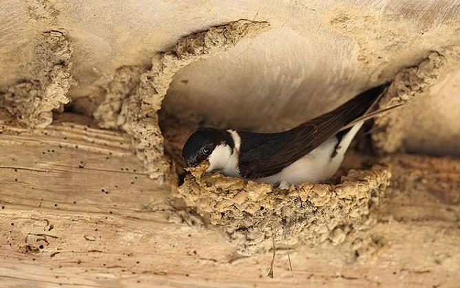 hirondelle dans son nid