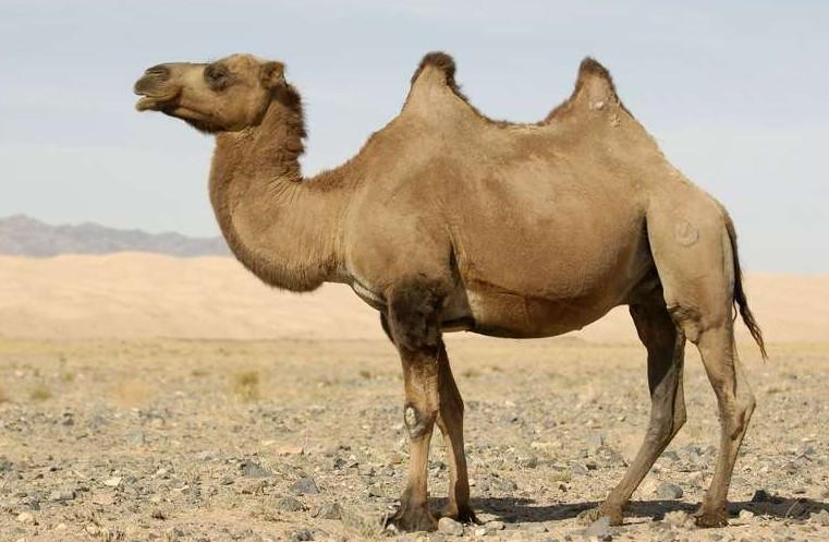 pourquoi le chameau a-t-il deux bosses