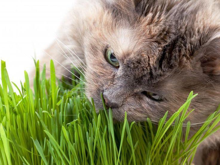 pourquoi le chat mange-t-il de l'herbe