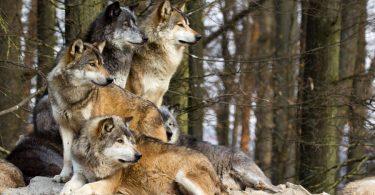 pourquoi le loup hurle-t-il ?
